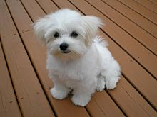 Maltese_puppy.jpeg.jpeg